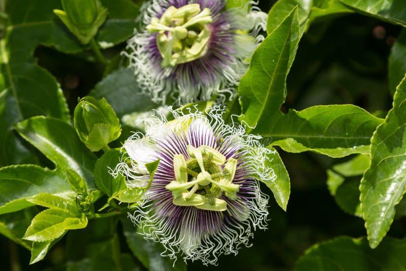 Purpurowy i biały passionflower obrazy stock
