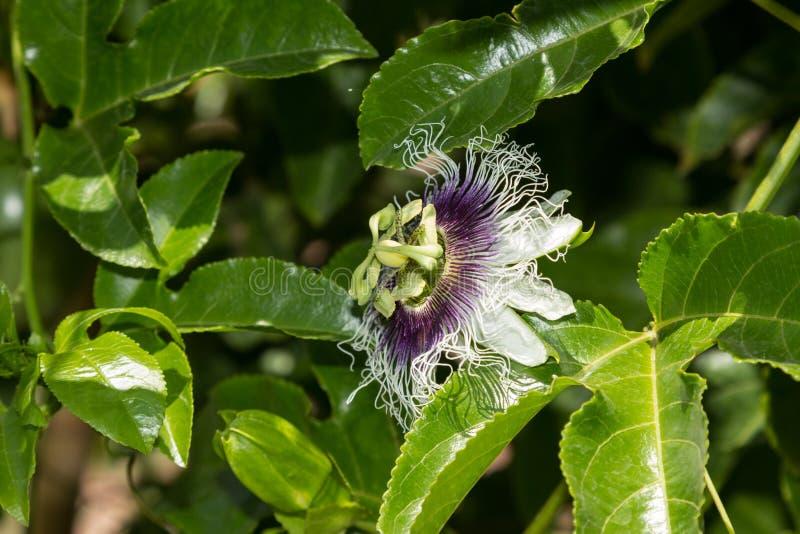 Purpurowy i biały passionflower obraz royalty free