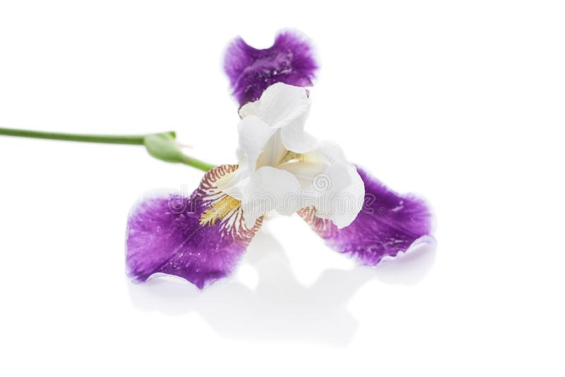 Purpurowy irys na białym tle Odosobniony przedmiot obraz royalty free