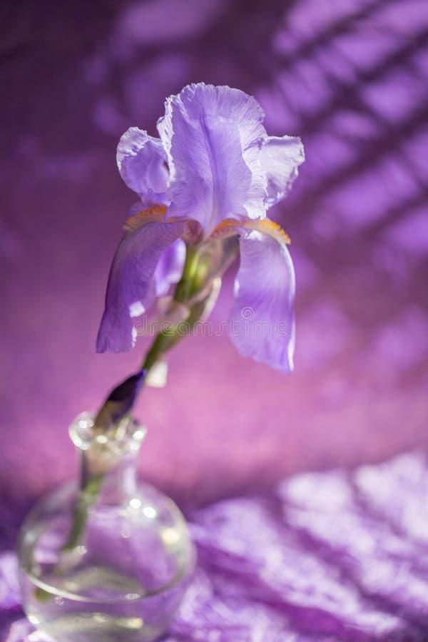 Purpurowy irysowy kwiat obraz royalty free
