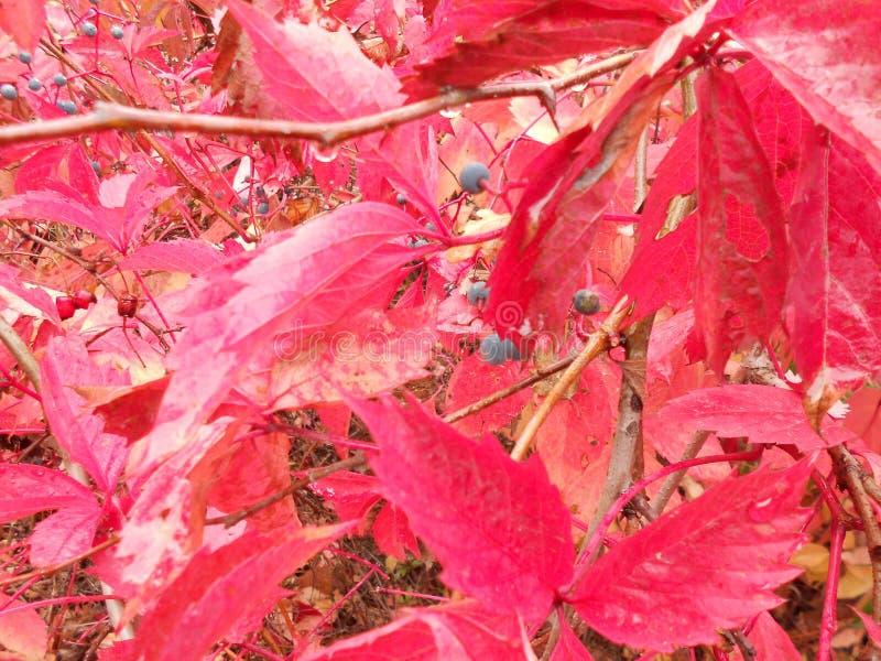 Purpurowy jesień krzak obrazy royalty free