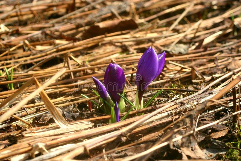 Purpurowy krokusów kwiatów dorośnięcie up od ziemi obraz stock