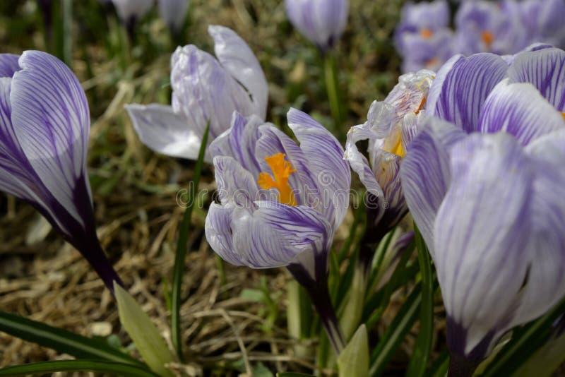Purpurowy krokus w wiosna kwiacie fotografia stock