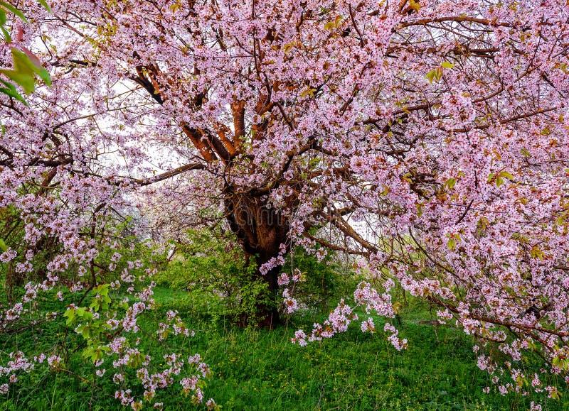 Purpurowy kwiat dzika wiśnia fotografia stock