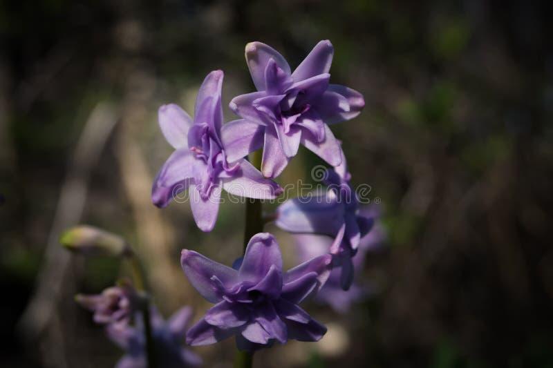 Purpurowy kwiat hiacynt w formie gwiazdy zdjęcia royalty free