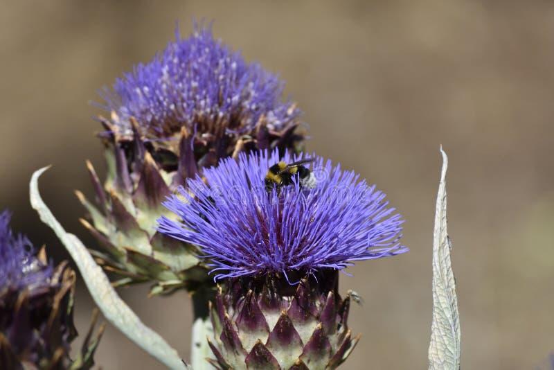 Purpurowy kwiat karczoch z bumblebee w pollen obraz stock