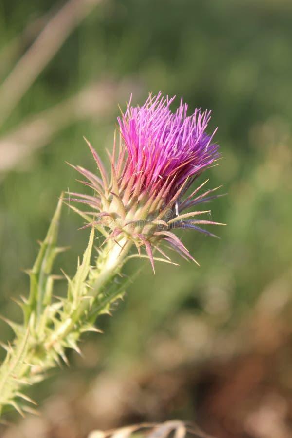 Purpurowy kwiat onopordum acanthium zdjęcie royalty free