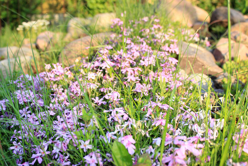 Purpurowy kwiatu dorośnięcie obraz stock