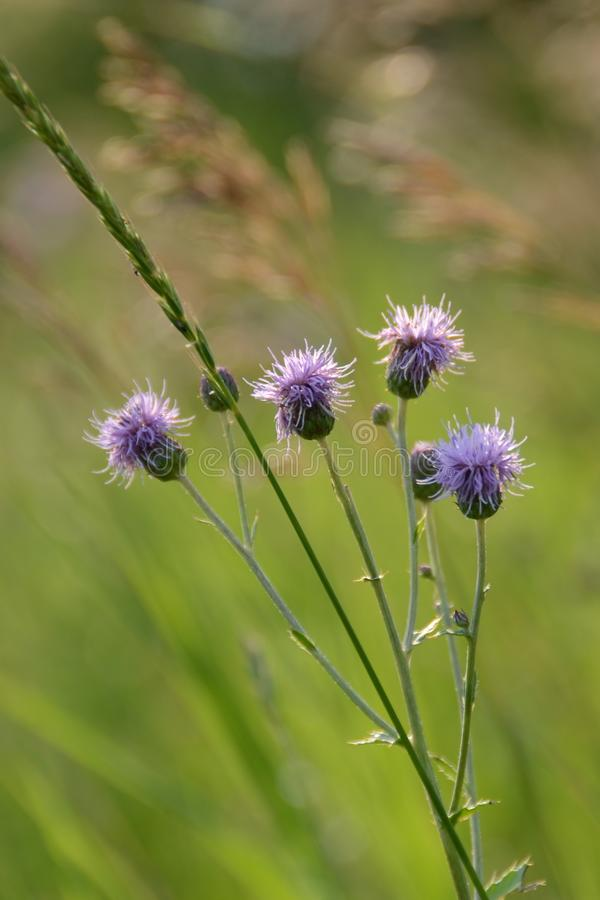 Purpurowy kwiatu dorośnięcie w wysokiej zielonej trawie obraz stock