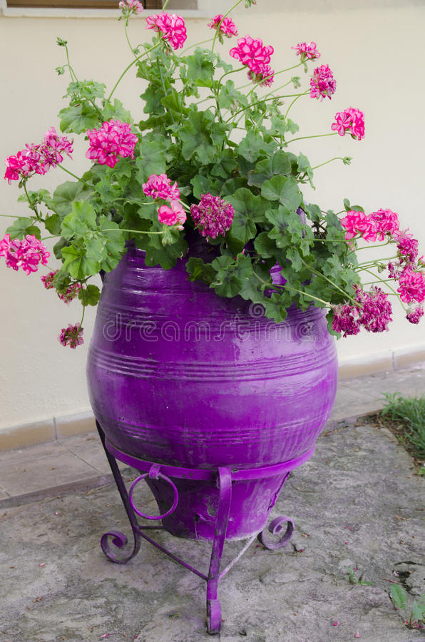 Purpurowy kwiatu garnek zdjęcia royalty free