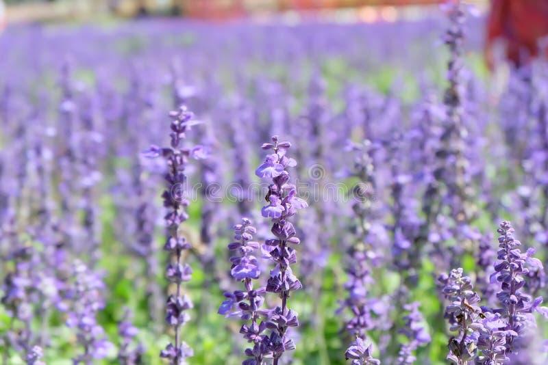 Purpurowy kwiatu ogród dla tła fotografia royalty free