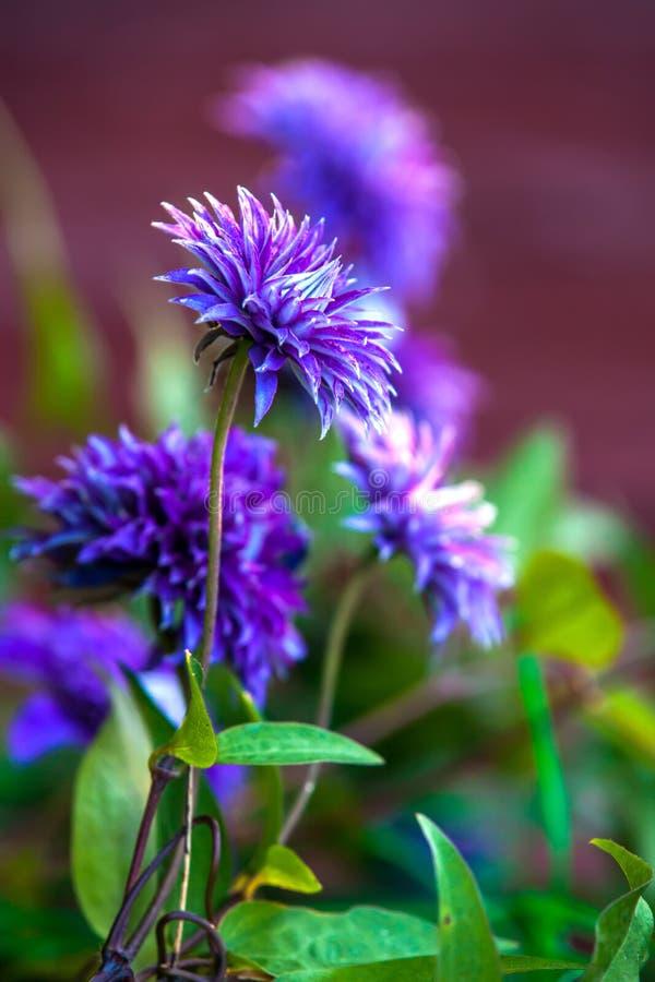 Purpurowy kwiatu pączek w ogródzie fotografia royalty free