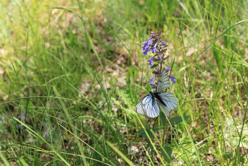 Purpurowy kwiatu pole, motyl i zdjęcia stock