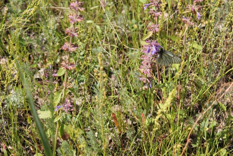 Purpurowy kwiatu pole, motyl i zdjęcie royalty free