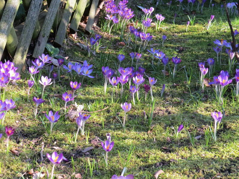 Purpurowy kwiatu pole na trawie obrazy royalty free