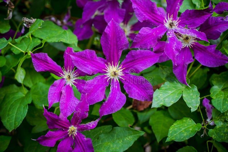 Purpurowy kwitnący clematis w górę obrazy royalty free