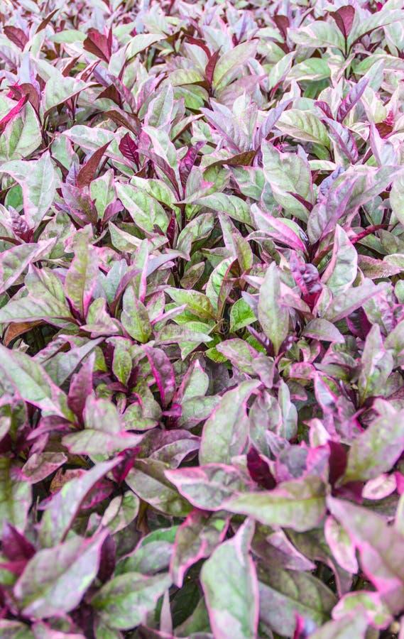 Purpurowy liścia wzór zdjęcie stock