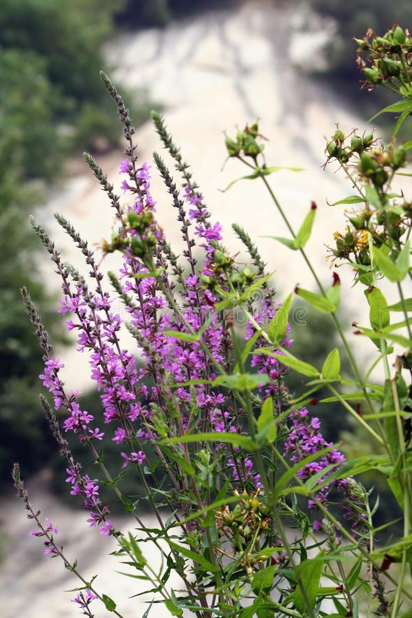 Purpurowy Loosestrife fotografia royalty free