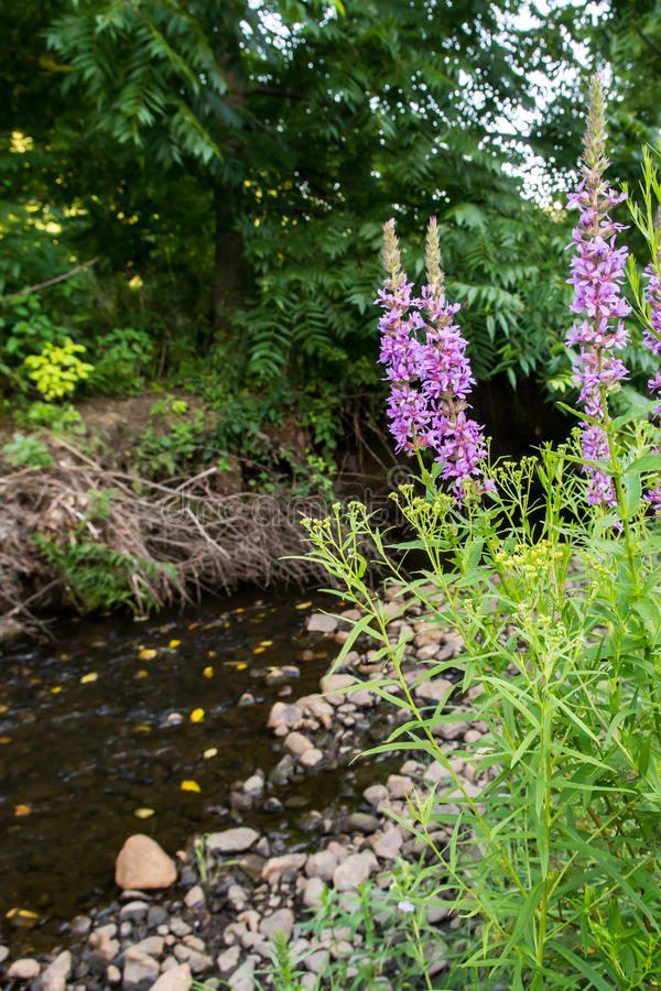 Purpurowy Loosestrife obrazy stock