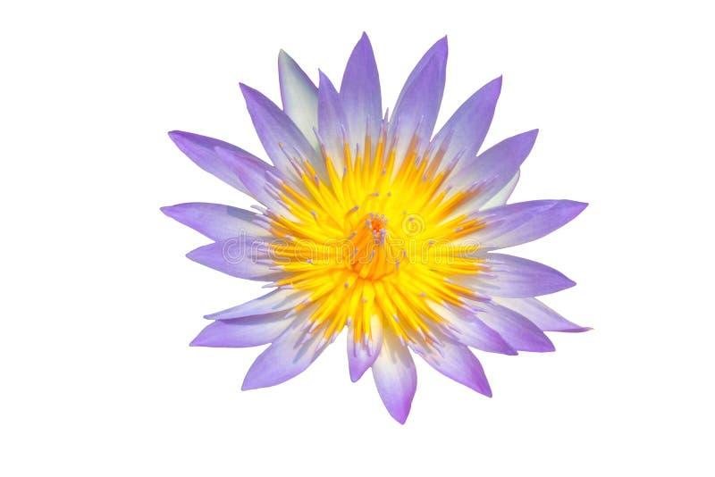 Purpurowy lotos odizolowywał białego tło z ścinek ścieżką obraz royalty free