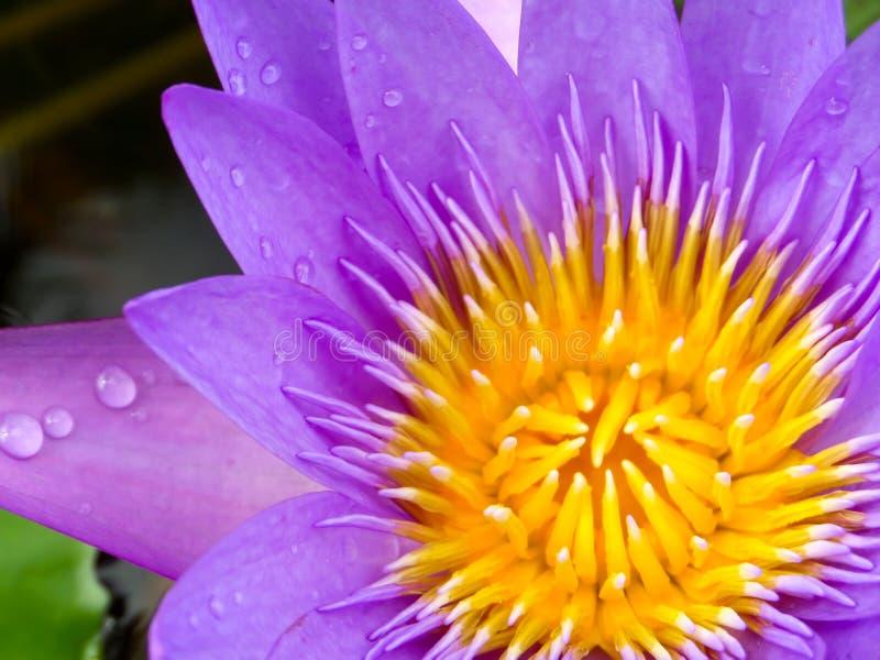purpurowy lotosowego kwiatu kwitnienie po podeszczowego spadku w ranku zdjęcia royalty free