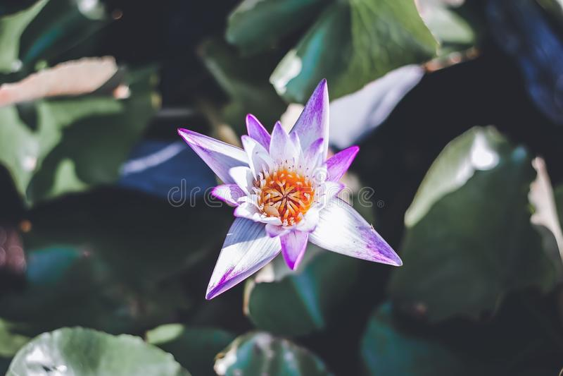 Purpurowy lotosowego kwiatu kwitnienie w stawie fotografia stock