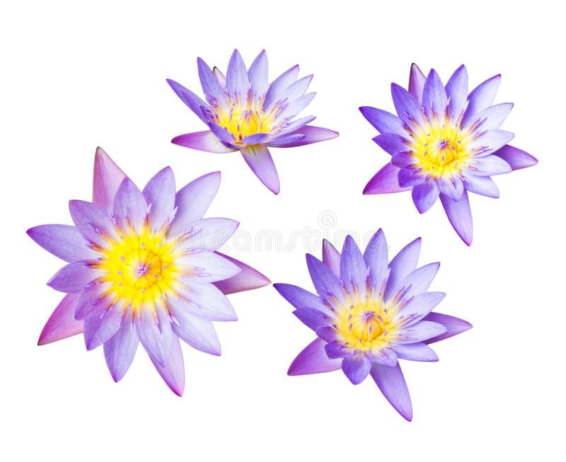 Purpurowy lotosowy kwiat lub wodna leluja odizolowywający na białym tle Ścinek ścieżkę łatwą dla cięcia out Kwiaty dla buddyzmu obrazy stock
