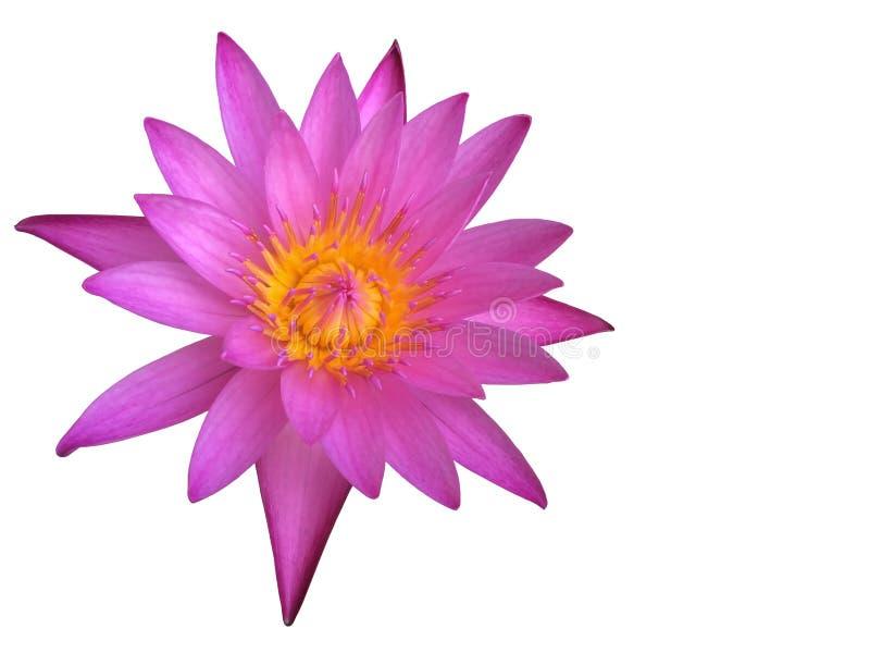 Purpurowy lotosowy kwiat lub wodna leluja odizolowywający na białym tle obraz stock
