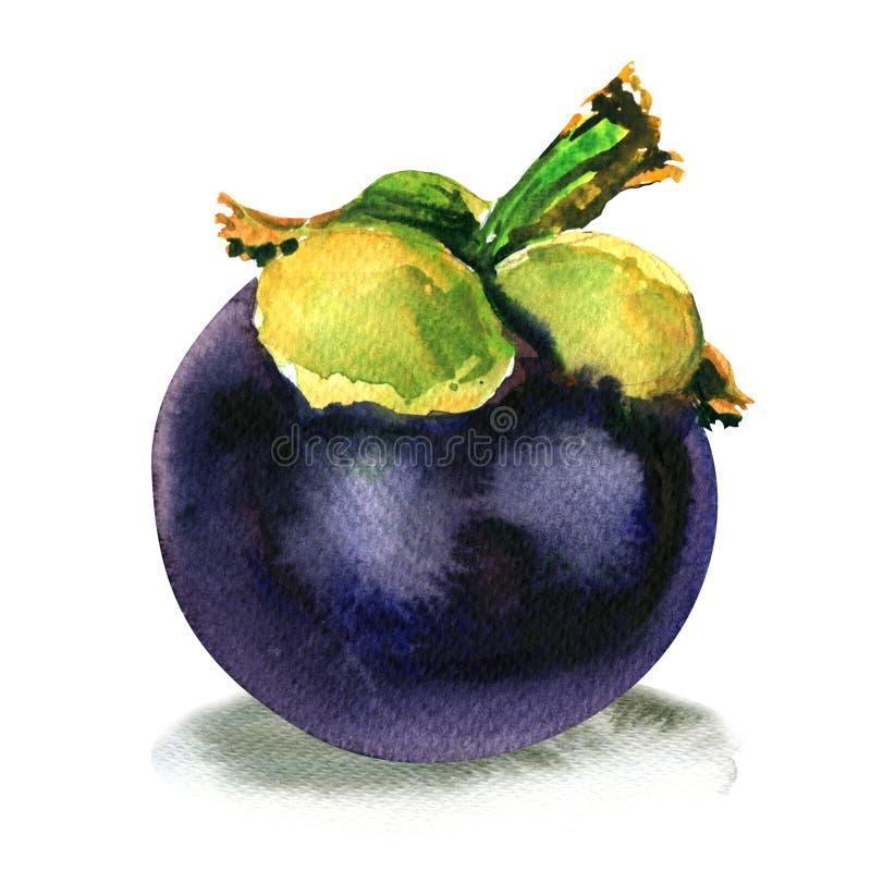 Purpurowy mangostan, garcyni mangostana, dojrzała tropikalna cała owoc odizolowywająca, akwareli ilustracja na bielu ilustracji