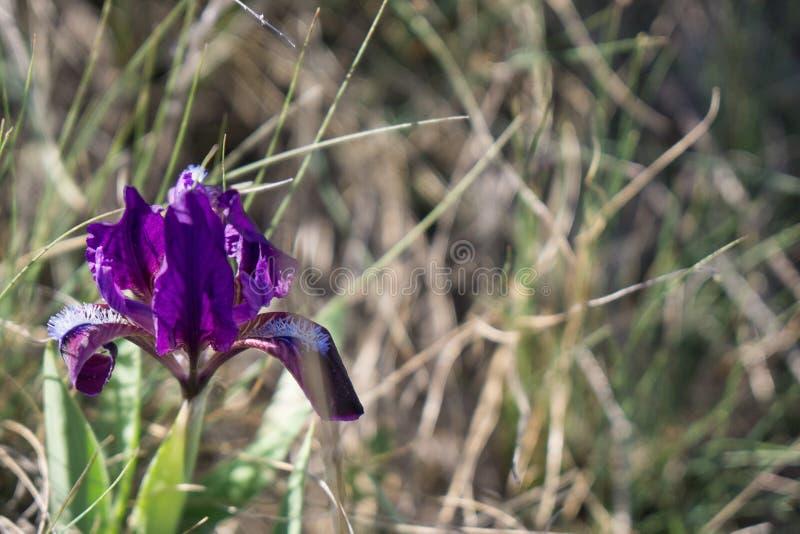 Purpurowy okwitnięcie dziki kwiat zdjęcia stock
