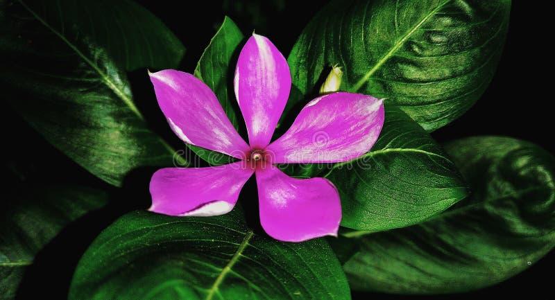 Purpurowy oleander obrazy royalty free