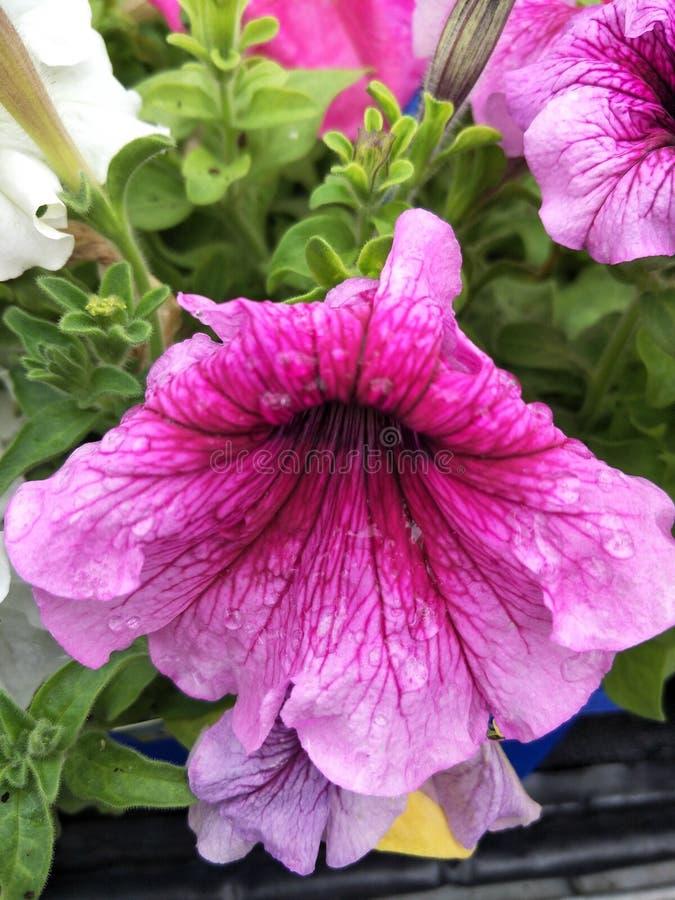 Purpurowy ombre kwiat zdjęcia stock