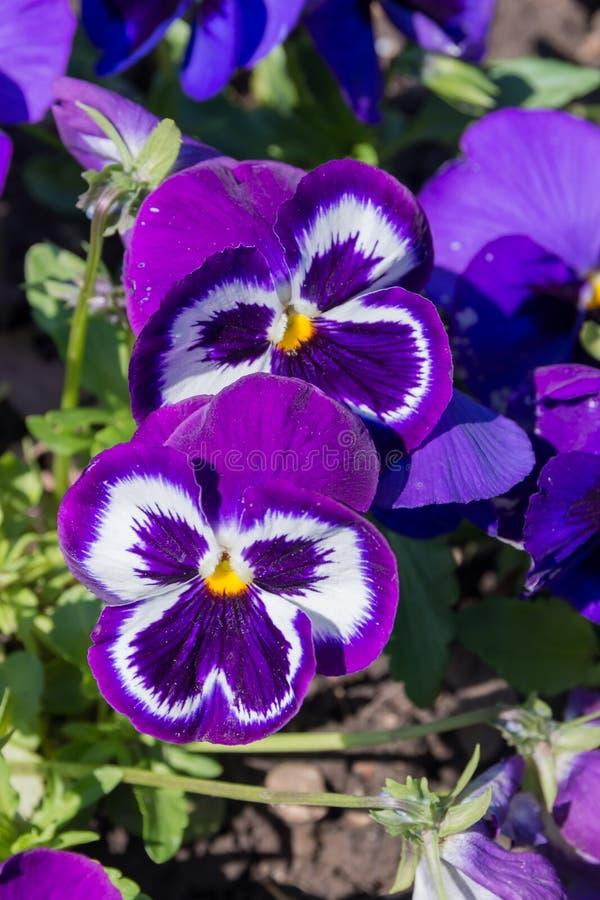 Purpurowy pansy obrazy royalty free