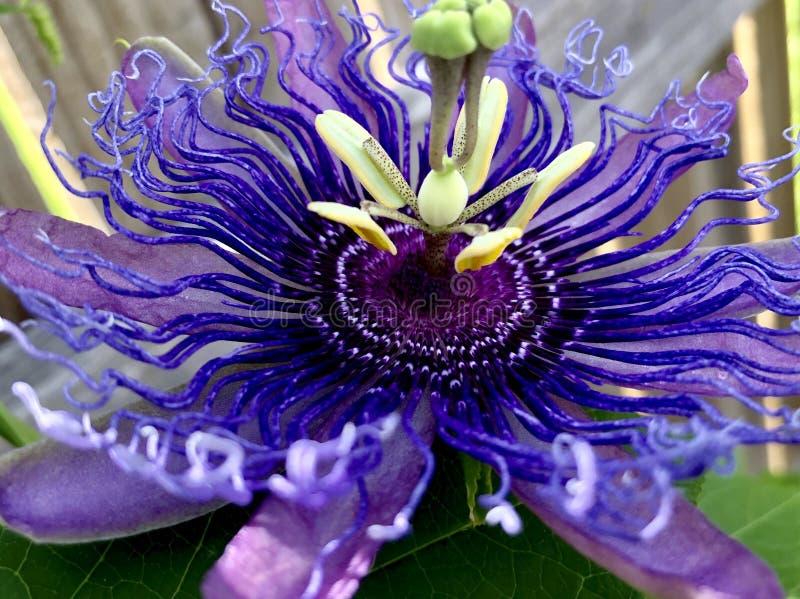 Purpurowy Passionflower zdjęcie royalty free