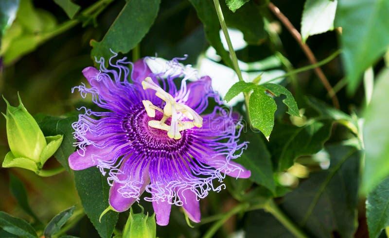 Purpurowy Passionflower obrazy stock