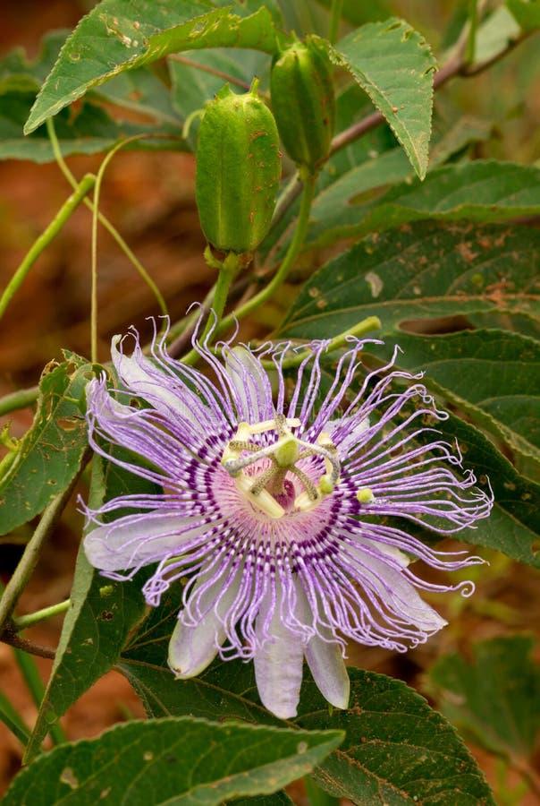 Purpurowy passionflower kwiat zdjęcia royalty free