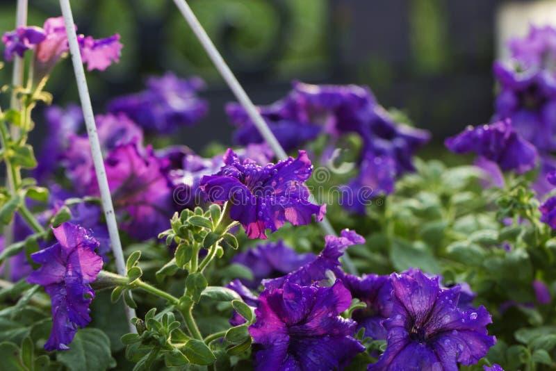 Purpurowy petunia kwiat x28 & purpury; violet& x29; kwiat w wody kropli obrazy stock