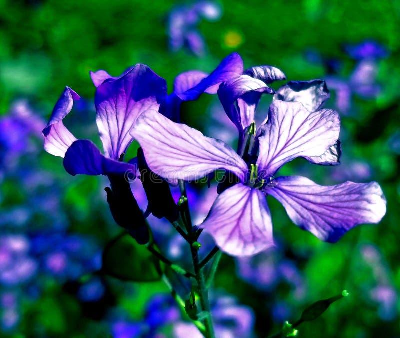 Purpurowy piękno obrazy royalty free