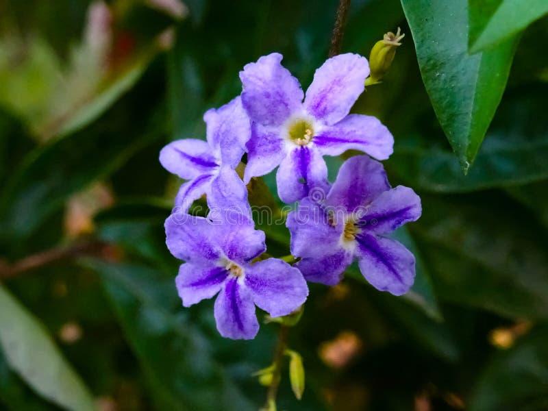 Purpurowy piękno zdjęcie royalty free