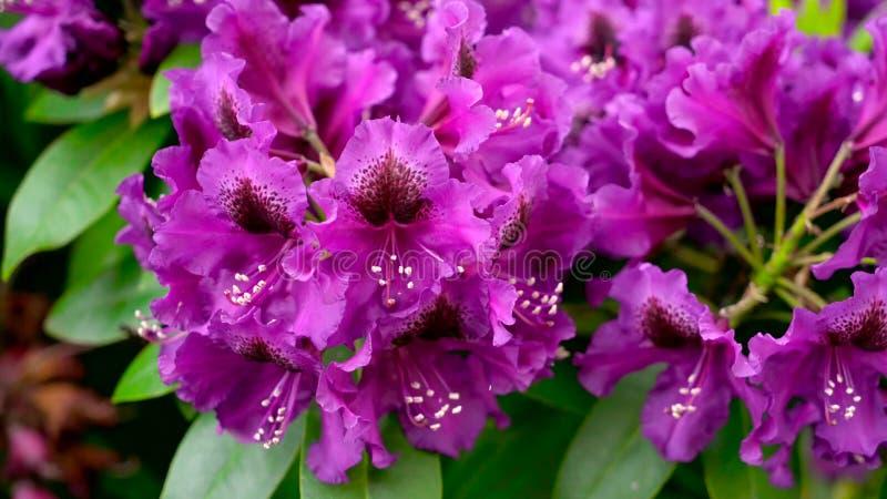 Purpurowy różanecznik kwitnie w ogródzie zdjęcia royalty free