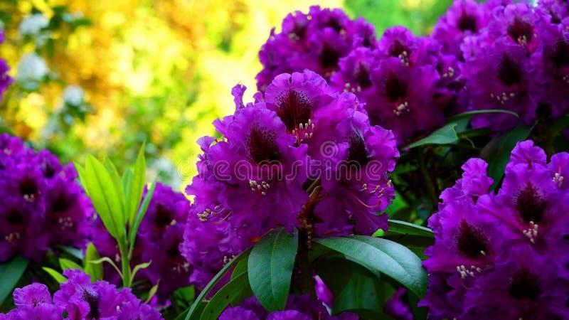 Purpurowy różanecznik w parku fotografia royalty free
