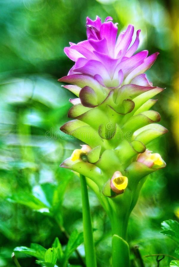 Purpurowy Siam tulipan lub lato tulipan obrazy royalty free
