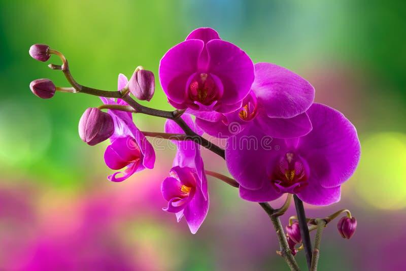 Purpurowy storczykowy kwiat na plamy tle zdjęcie royalty free