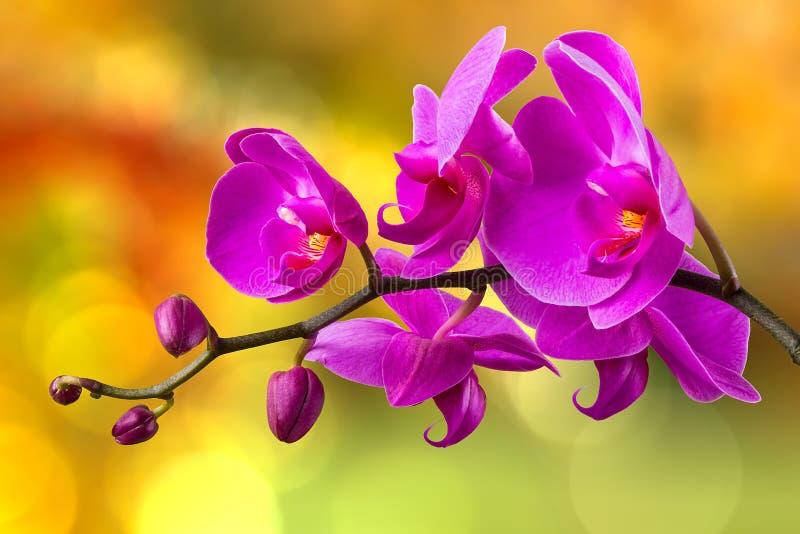 Purpurowy storczykowy kwiat na plamy tle zdjęcie stock