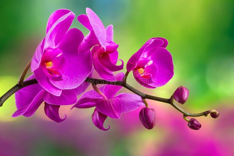 Purpurowy storczykowy kwiat na plamy tle obraz stock