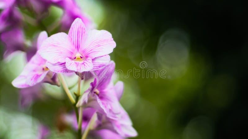 Purpurowy Storczykowy kwiat na zielonym plamy bokeh tle zdjęcia royalty free