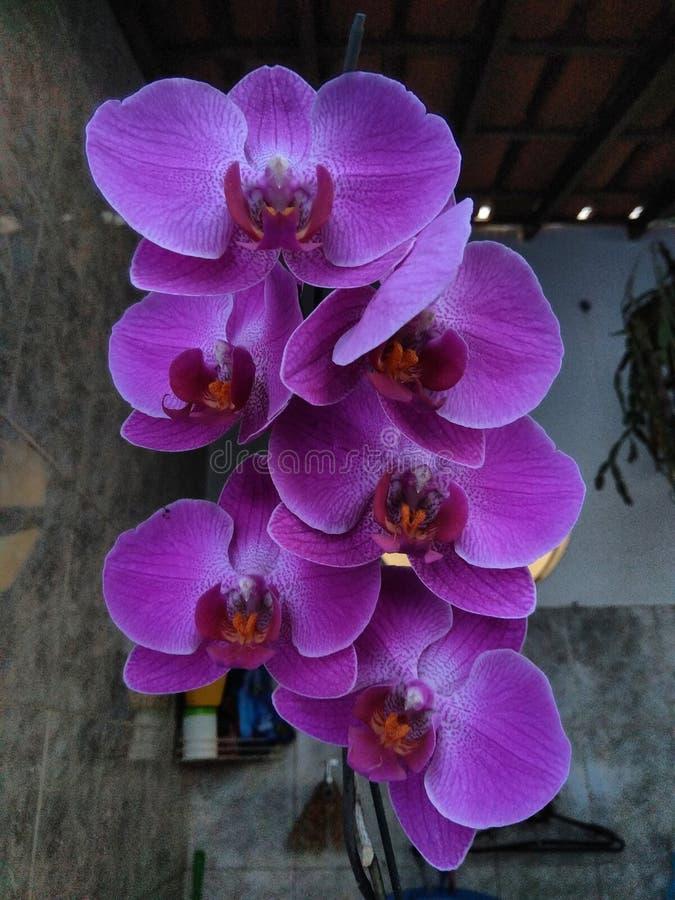Purpurowy storczykowy kwiatu zako?czenie fotografia stock