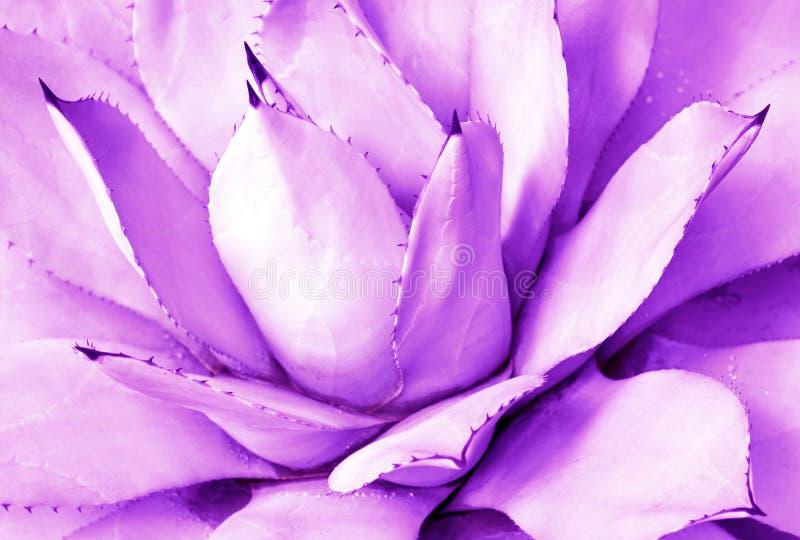 Purpurowy sukulent w górę, odgórny widok, minimalistic modny tło stonowany fotografia stock