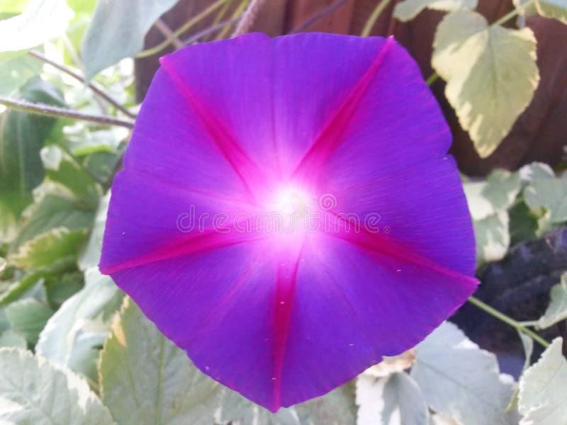Purpurowy sunburst fotografia royalty free