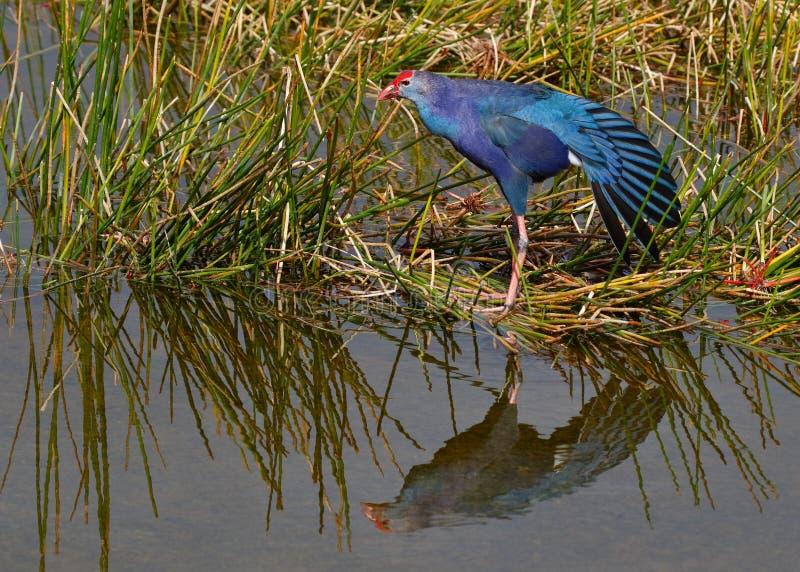 Purpurowy Swamphen, Floryda - fotografia royalty free